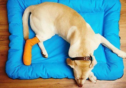 fracturas-en-perros-1_Armenia
